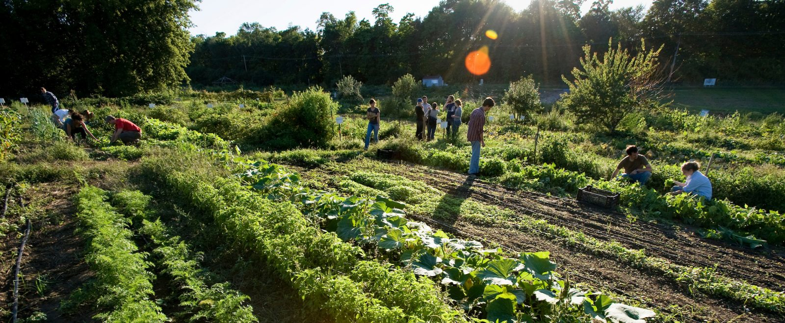 Community garden with a dozen people harvesting amidst the rows of crops